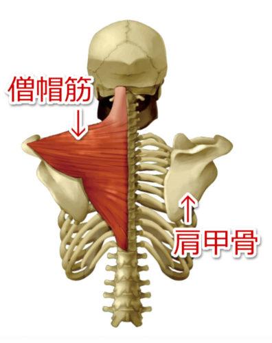僧帽筋と肩甲骨